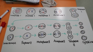 Meiosis Diagrams